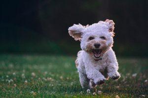 A very cute puppy running